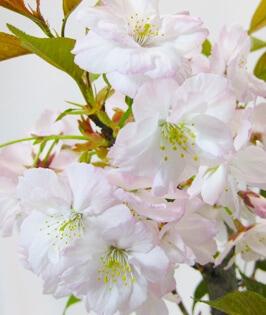 Taoyame Sakura