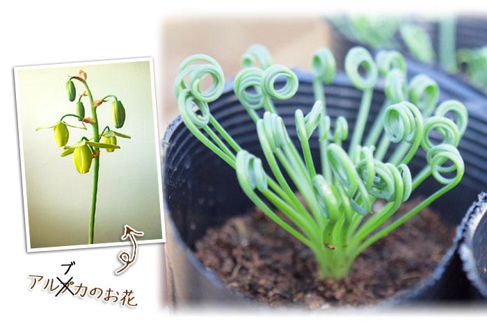 アルブカとアルブカの花