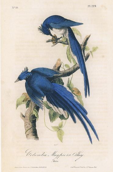 Audubon 鳥の絵 アメリカの鳥類