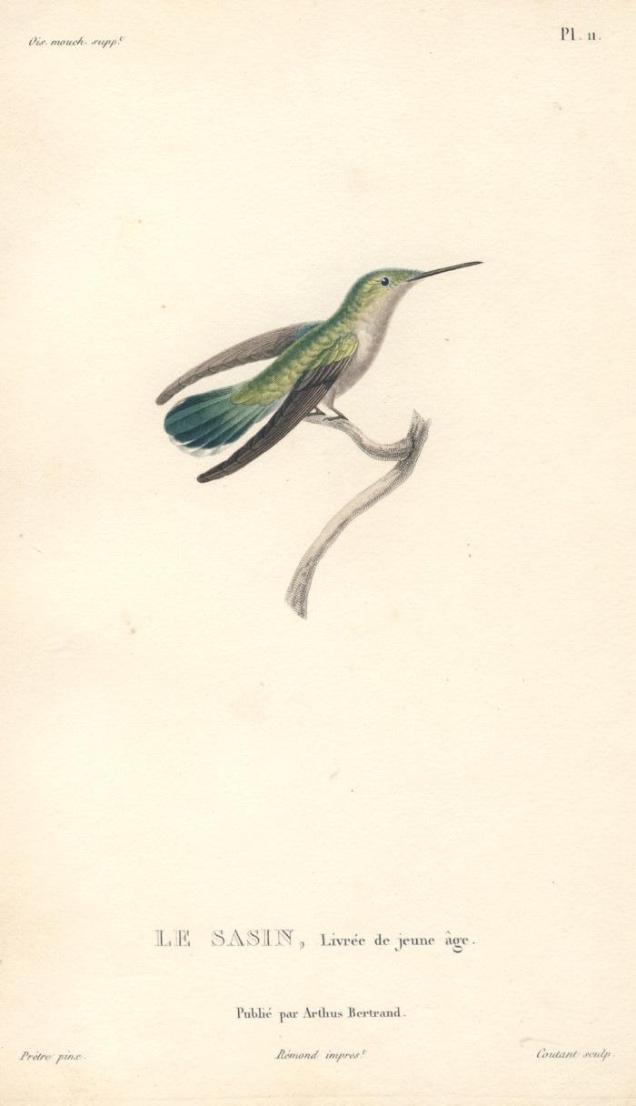 レッソン ハチドリの絵 ハミングバード