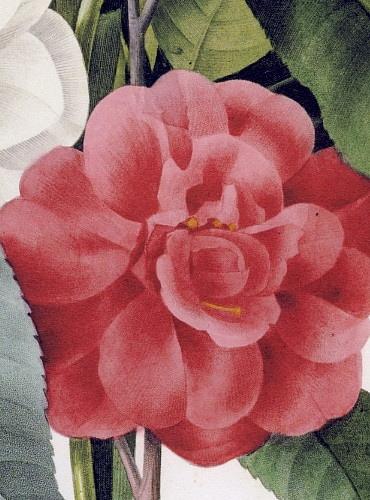 ルドゥーテ「カメリアの花束」 椿の絵, カメリアの絵, ブーケ