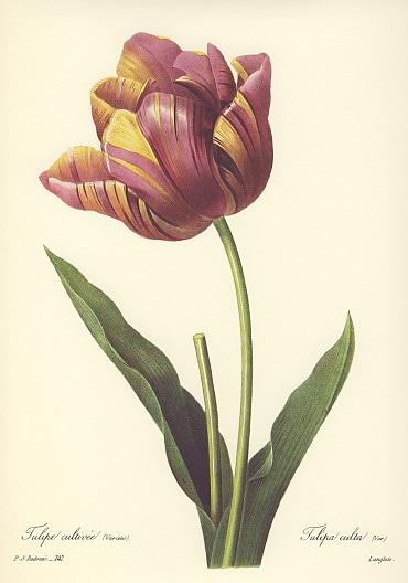 ルドゥーテ チューリップ パープル 紫 tulip 絵 チューリップの絵