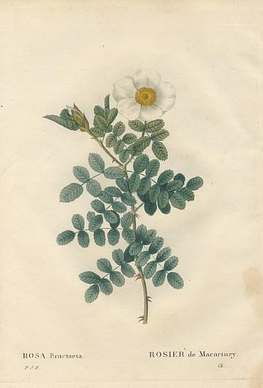 ルドゥーテ ロサ・ブラクテアータ redoute rosa bractaeta