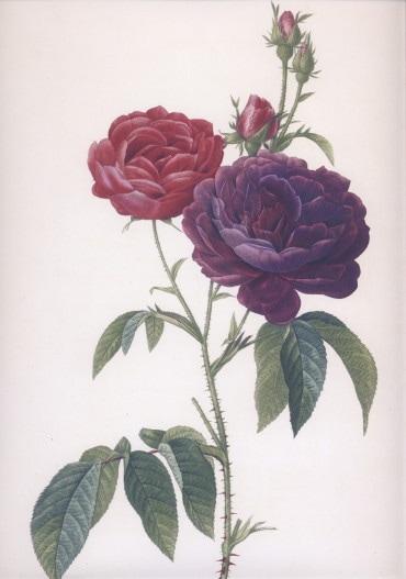 ルドゥーテ 司祭のバラ