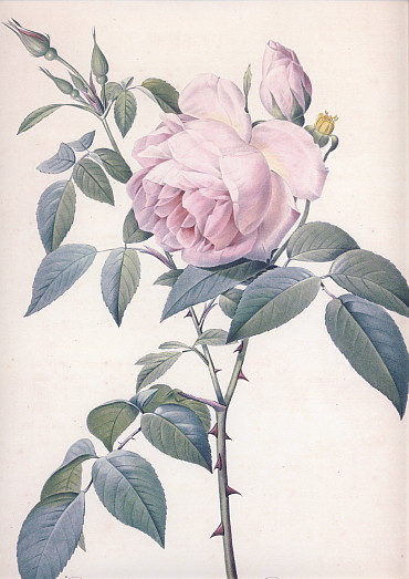 香り高き白バラ・大
