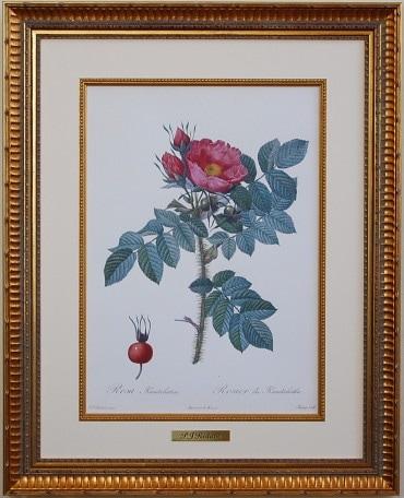 ルドゥーテ バラの絵 ロサ・カムチャティカ カムチャツカのバラ