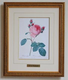 ルドゥーテ バラ図譜「八重咲きの丸いピンクバラ」ロサ・ケンティフォリア 小 縮小版