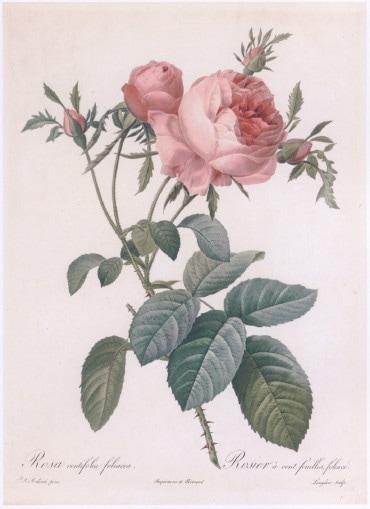 ルドゥーテ バラ図譜「フォリアケア」 小 縮小版