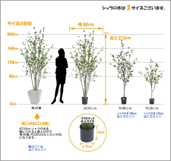 シャラの木サイズ
