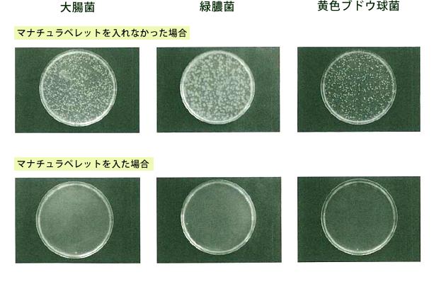 マナチュラペレットを入れた場合と入れなかった倍意の大腸菌・緑膿菌、黄色武道球菌の24時間後の結果