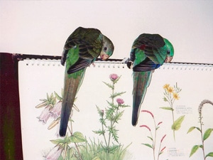 Pea Birds