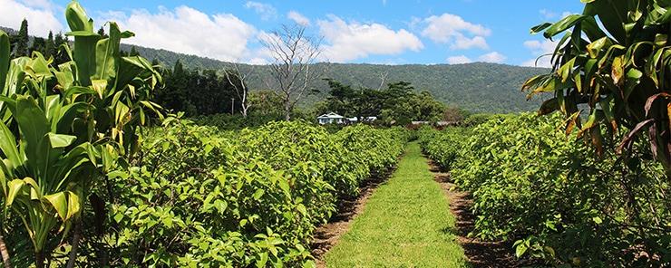 ママキはウッドバレー農園がハワイ固有の植物