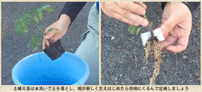 土植えの苗