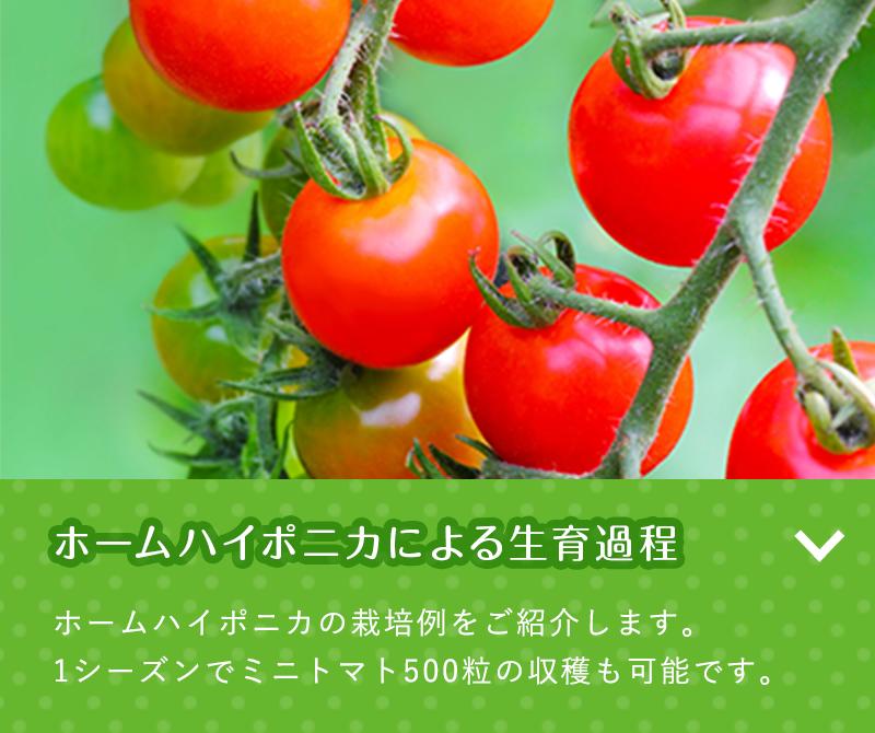 ホームハイポニカによる生育過程 ホームハイポニカの栽培例をご紹介します。1シーズンでミニトマト500粒の収穫も可能です。