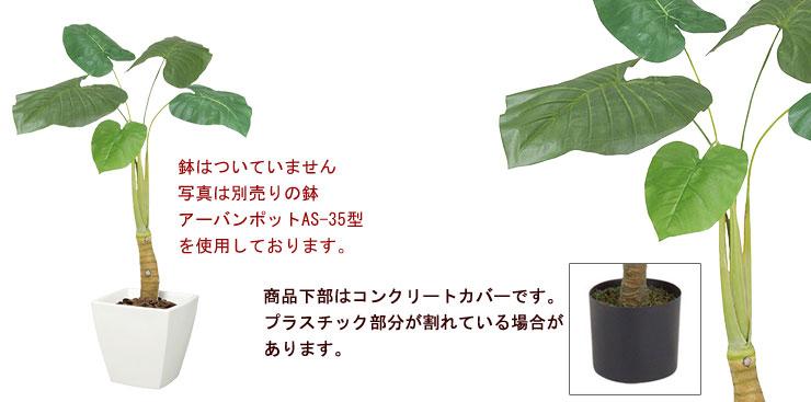 クワズイモ(S)