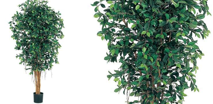 150cmフィカスツリー