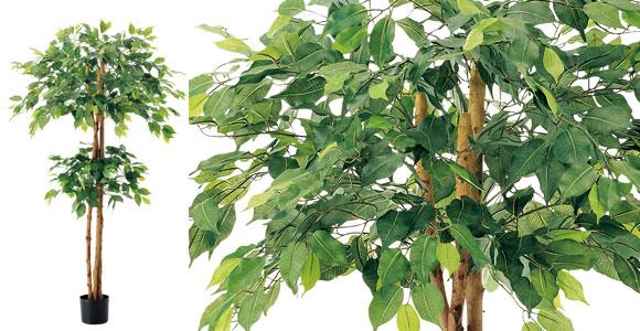 150cmダブルフィカスツリー
