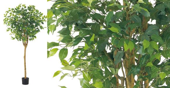 180cmラウンドフィカスツリー