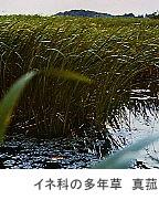 イネ科の多年草 真菰