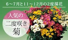 二度咲き菊