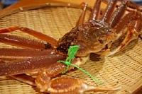 香住港タグ付松葉蟹(活)
