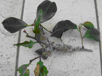 チャドクガ防除剤 チャドクガ毒針毛固着剤 180ml 大日本除虫菊 チャドクガ専用防除スプレーチャドクガの毛の飛散を防ぎます。