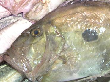 鮮魚通販|マトウダイ