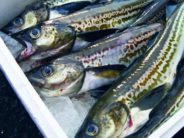 鮮魚通販|スケソウダラ