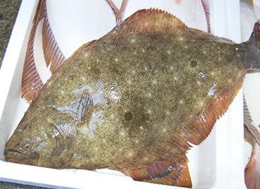 鮮魚通販|ヒラメ