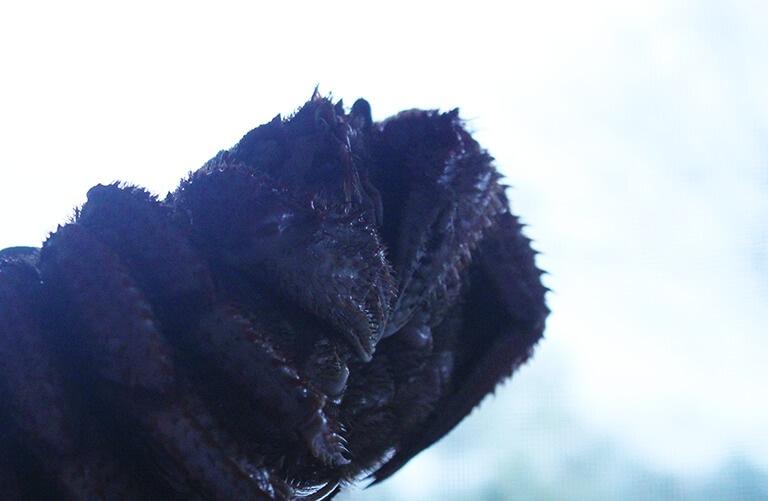 流氷毛蟹イメージ