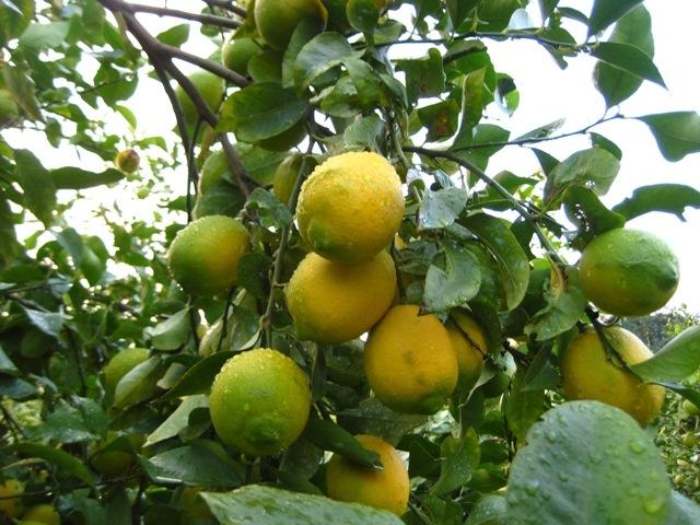 安心の国産レモン