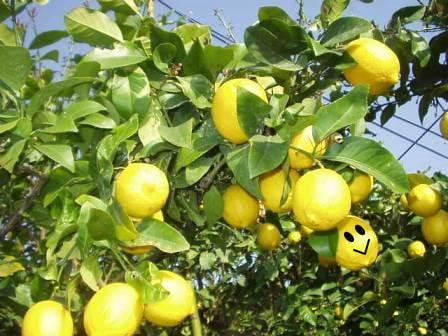 完熟国産レモン