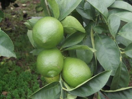 グリーンレモン(国産レモン)
