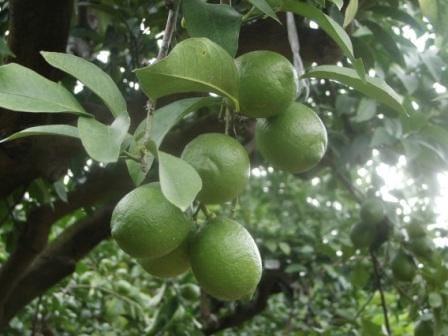 国産レモン(グリーンレモン)