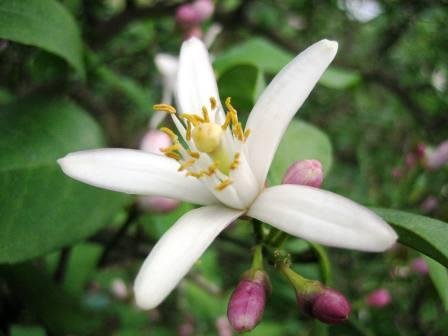 国産レモンの花