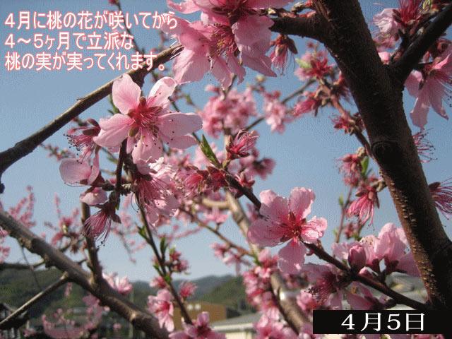 春は桃の花が咲き誇り、約4ヶ月後に収穫が始まります。