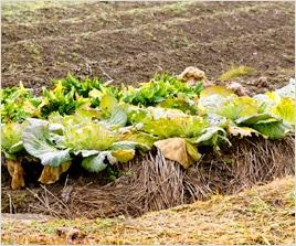 栽培適期を外れて栽培しますと秀品が収穫出来ないばかりか、全く野菜にならない事もございます。
