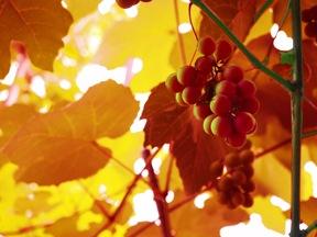 赤ブドウ葉エキス