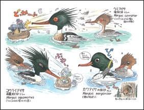 原色非実用野鳥おもしろ図鑑 内容一部