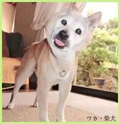 ワカ・柴犬イメージ