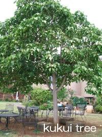 ハワイ州の木 ククイ
