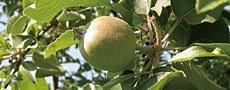 リンゴ(青森県)