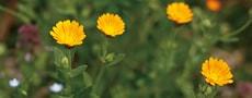 金盞花(千葉県)