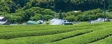 茶(静岡県)