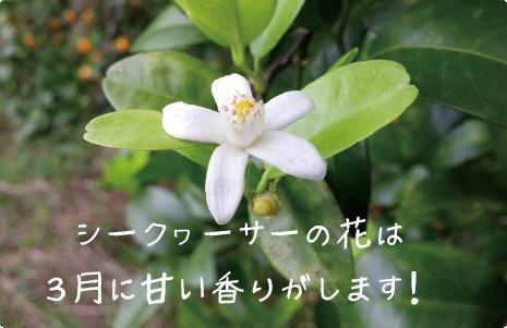 シークヮーサーの花は3月に甘い香りがします!
