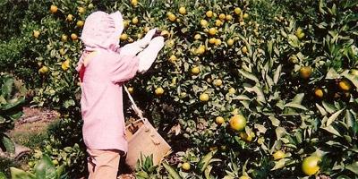 ●さとおばちゃん●極早生ミカンの収穫まっただ中