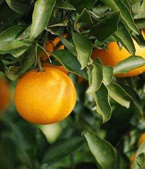 森本農園さとおばちゃんの【倉置き】早春の柑橘