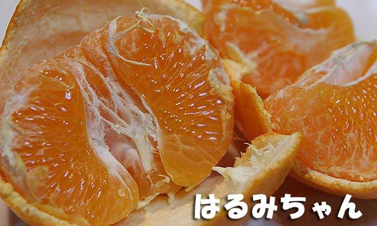 森本農園さとおばちゃんの【倉置き】はるみオレンジ