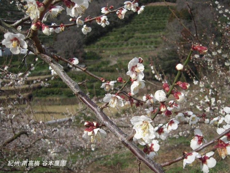南高梅 初花 ■谷本農園