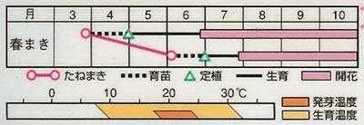 フレンチマリーゴールド ボナンザイエロー(1ml) 〜花のタネ〜